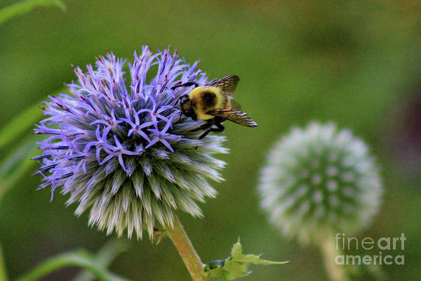 Photograph - Bee On Globe Thistle by Karen Adams