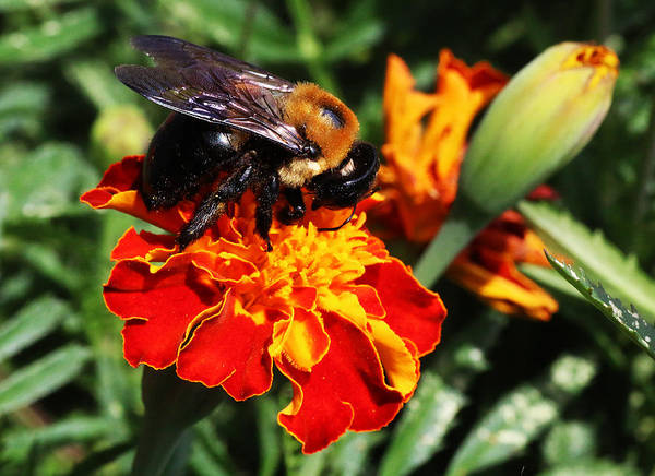 Photograph - Bee On Marigold by William Selander