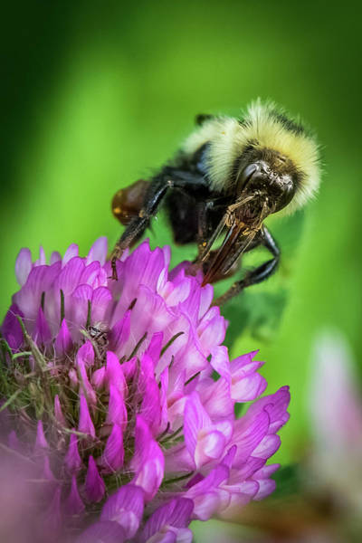 Wall Art - Photograph - Bee On Purple Clover by Paul Freidlund