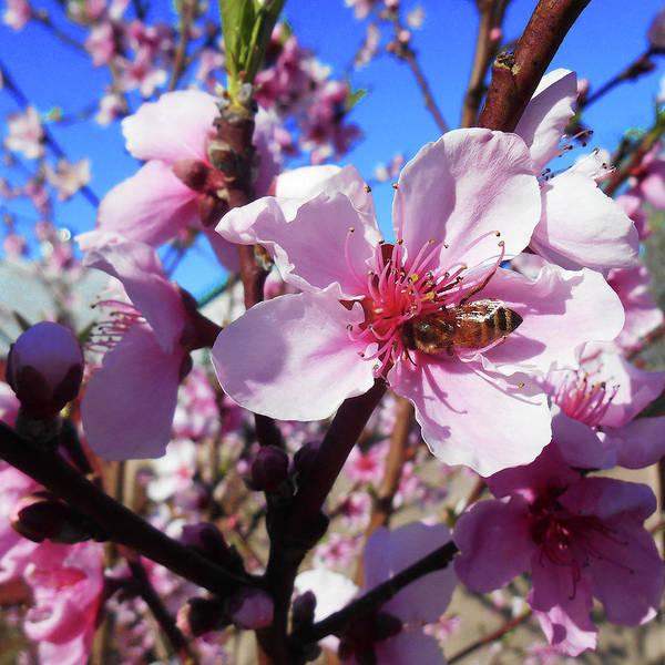 Apple Blossom Photograph - Bee On The Blossom by Irina Sztukowski
