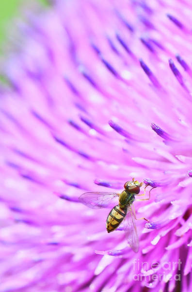 Photograph - Sweat Bee On Thistle by Katie Joya
