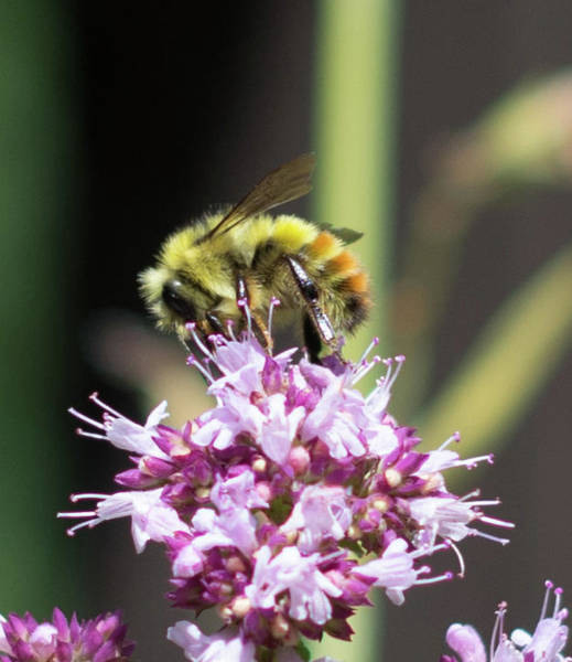 Photograph - Bee On Top by Marilyn Wilson