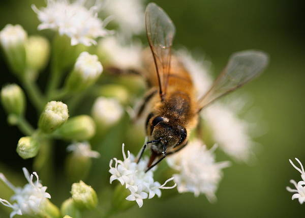 Photograph - Bee On White by Angela Rath