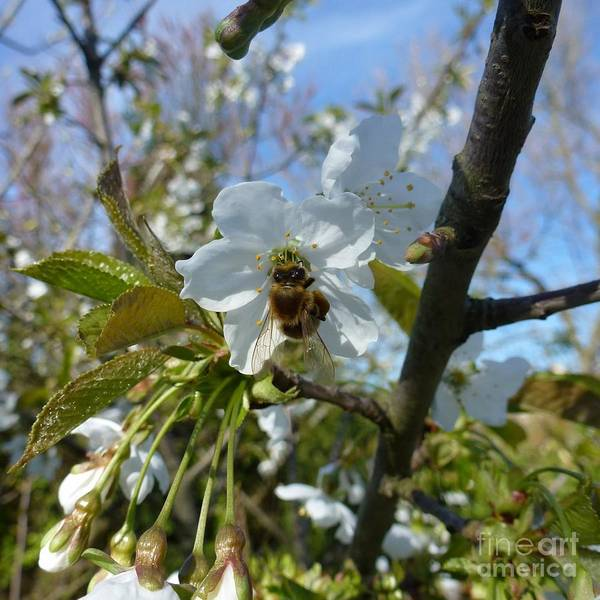 Photograph - Bee On White Flowers by Jean Bernard Roussilhe