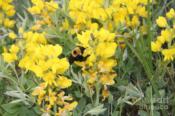 Photograph - Bee On Yellow Wildflower by Donna L Munro