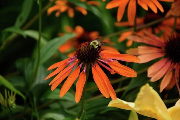 Photograph - Bee Pollinating On A Cone Flower by Jenny Regan