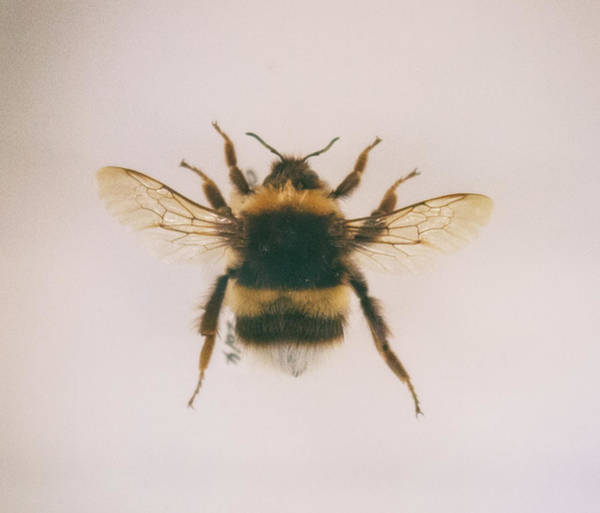 Bumble Bee Wall Art - Photograph - Bee Specimen by Martin Newman