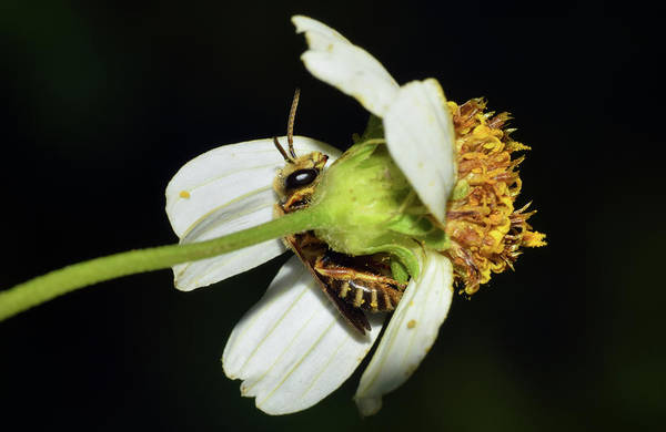 Photograph - Bee Under Flower by Larah McElroy
