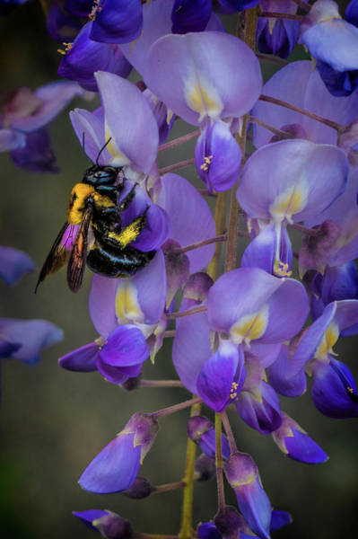 Photograph - Bee Wistful by Chris Lord