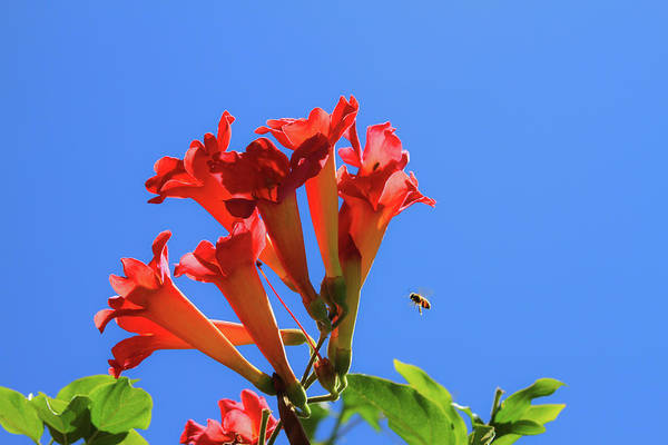Photograph - Bee With Trumpet Flowers 1 by Bonnie Follett