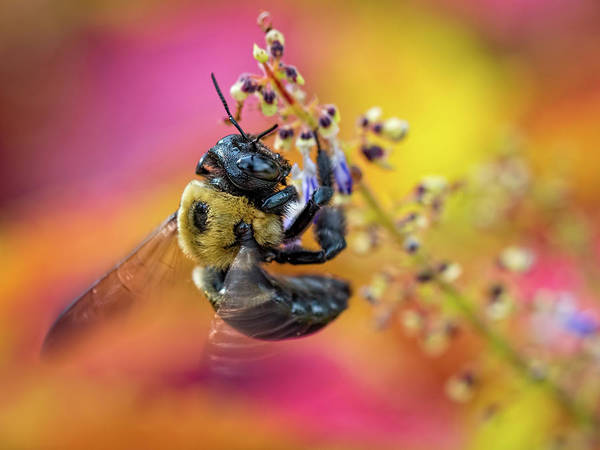 Photograph - Bee With Wings In Motion by Brad Boland