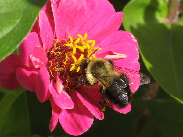 Photograph - Bee With Zinnia by Alfred Ng