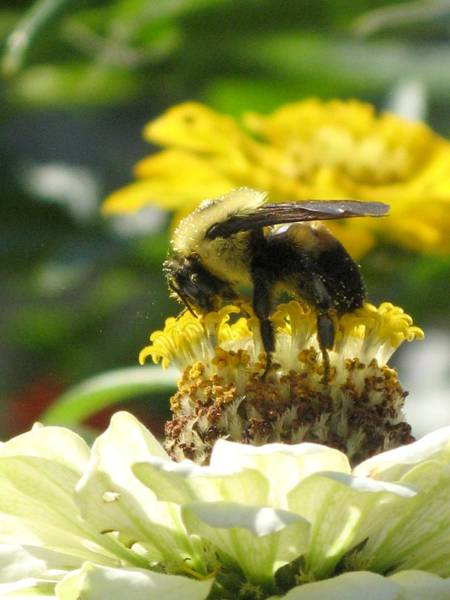 Photograph - Bee With Zinnia Sandwich by Alfred Ng