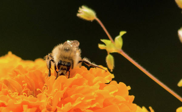 Photograph - Gathering Pollen by Marilyn Wilson