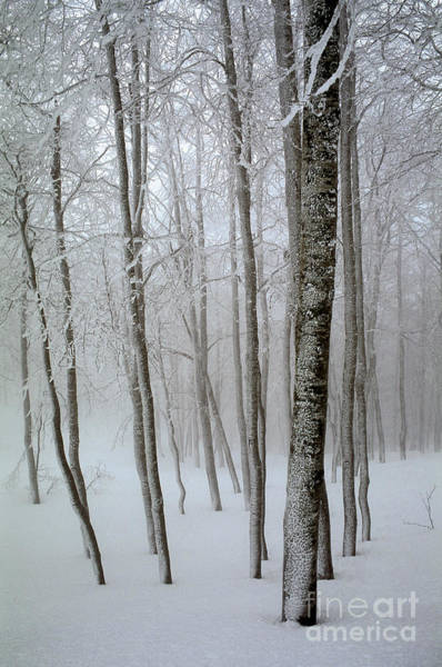 Wintry Photograph - Beech Grove In Snow by Italian School