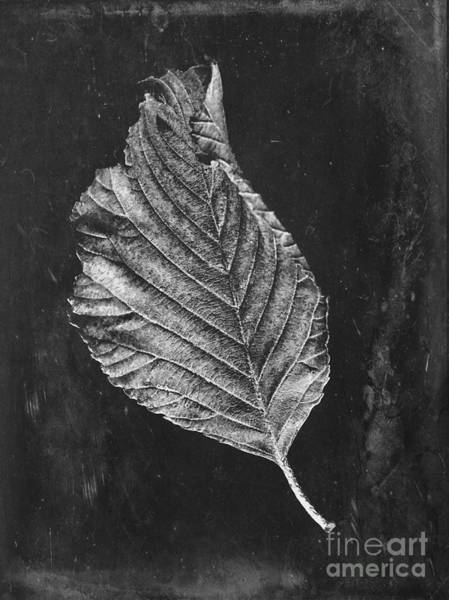 Wall Art - Photograph - Beech Leaf by John Edwards