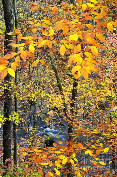 Birch River Photograph - Beech Leaves Birch River by Thomas R Fletcher