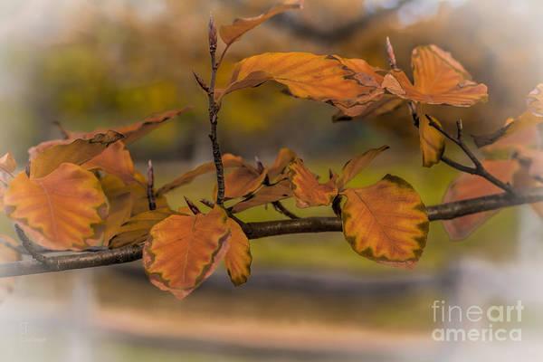 Photograph - Beech Leaves by Elaine Teague