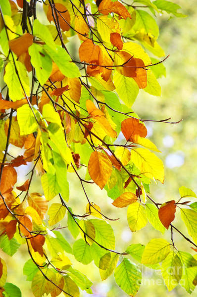 Photograph - Beech Leaves In Autumn by Angela Doelling AD DESIGN Photo and PhotoArt