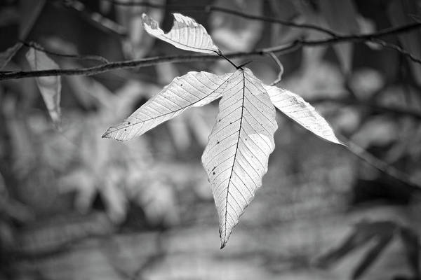 Photograph - Beech Leaves - Uw Arboretum - Madison - Wisconsin by Steven Ralser