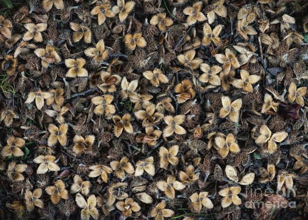 Casing Wall Art - Photograph - Beech Nut Husks by Tim Gainey