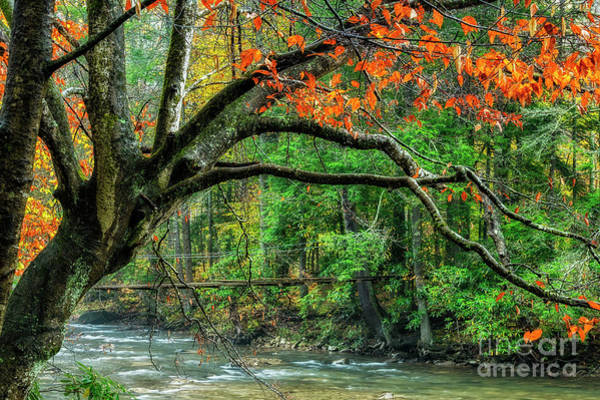 Photograph - Beech Tree And Swinging Bridge by Thomas R Fletcher