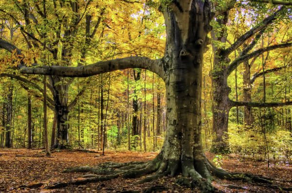 Photograph - Beech Trees by Jim Dollar