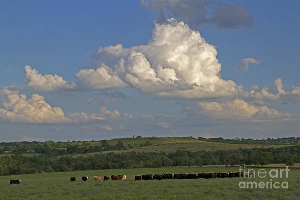 Wall Art - Photograph - Beef Cattle In Kansas by Kenneth M. Highfill