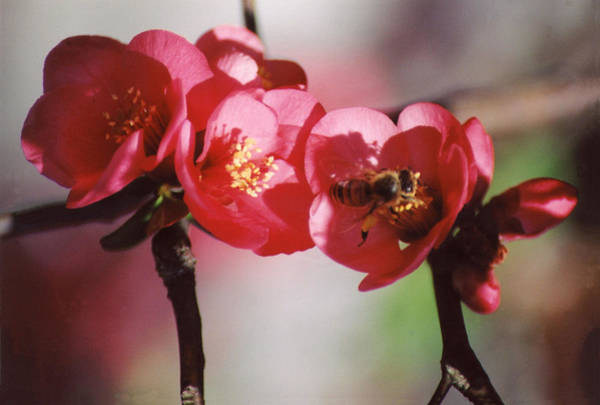 Quince Photograph - Beeing Pretty Busy by Jan Amiss Photography