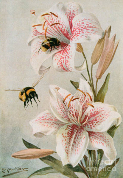 Honeybees Wall Art - Painting - Bees And Lilies by Louis Fairfax Muckley
