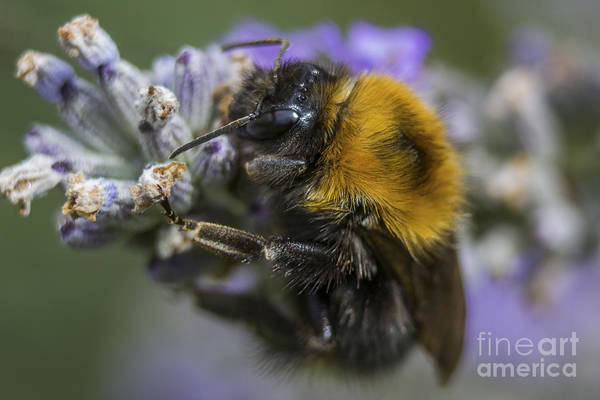 Photograph - Bees Knees by Ian Mitchell