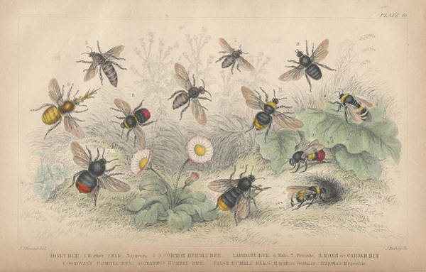 Wall Art - Drawing - Bees by Dreyer Wildlife Print Collections
