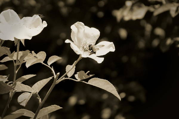 Photograph - Bees On Country Roses In Sepia Chicago Botanical Gardens by Colleen Cornelius