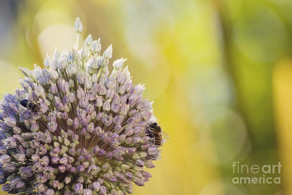 Photograph - Bees On Garlic Blossom by Cindy Garber Iverson