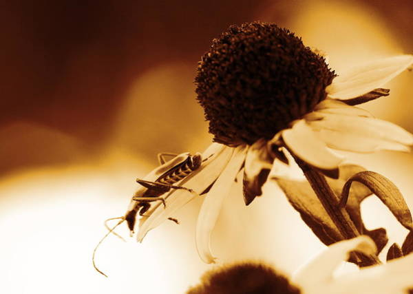 Photograph - Beetle And Black Eyed Susan by Angela Rath