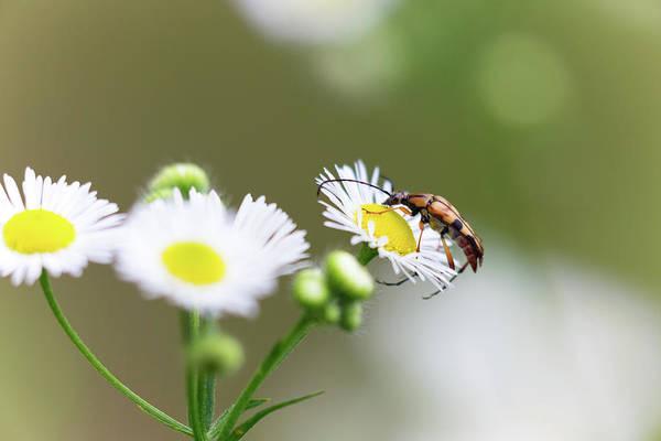 Beetle Daisy Art Print