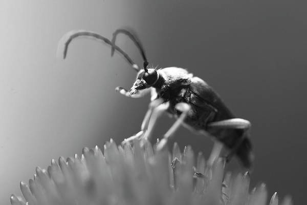 Photograph - Beetle In Black And White by Brian Magnier