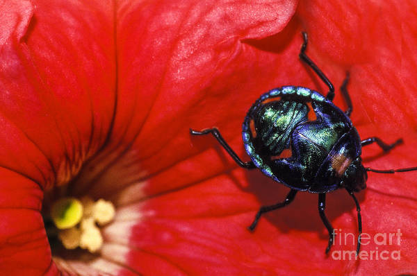 Beetle On A Hibiscus Flower. Art Print