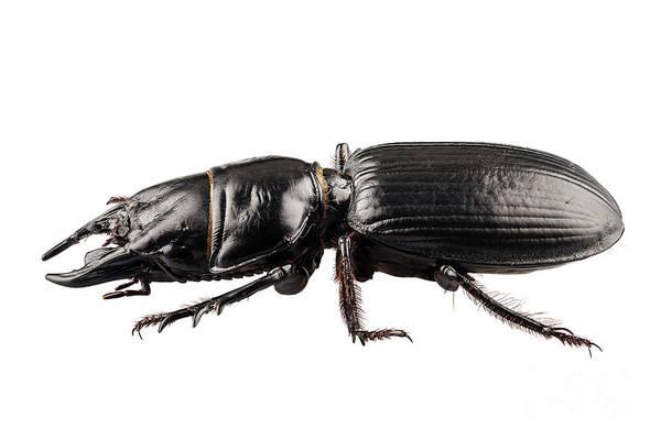Arthropods Painting - beetle species Lucanus cervus by Pablo Romero