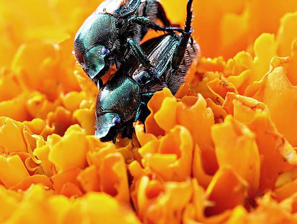 Wall Art - Photograph - Beetles Mate by Celestial  Blue