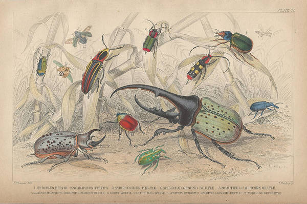 Wall Art - Drawing - Beetles by Dreyer Wildlife Print Collections