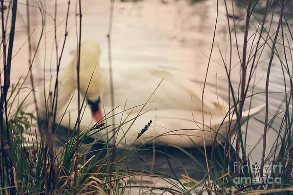 White Swan Photograph - Before The Night Falls by Jasna Buncic