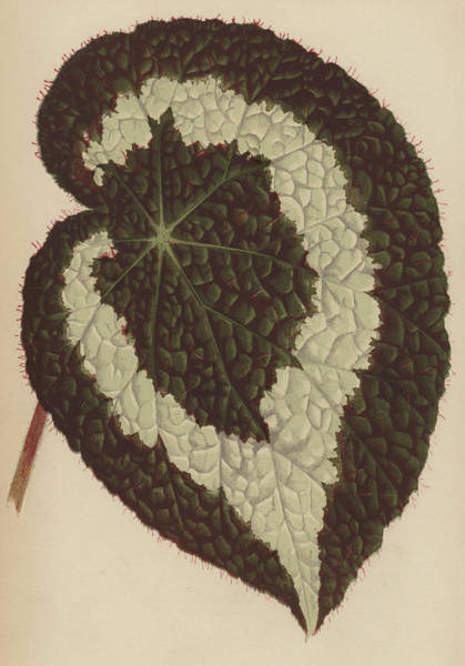 Leaf Venation Wall Art - Painting - Begonia Rex by English School