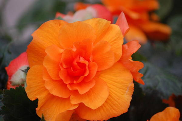Photograph - Begonia Sunrise by Helen Carson