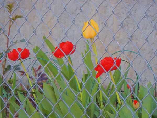 Photograph - Behind The Fence by Wild Thing