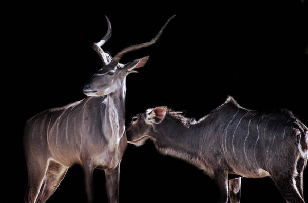 Black Buck Photograph - Being Looked After by Martin Newman
