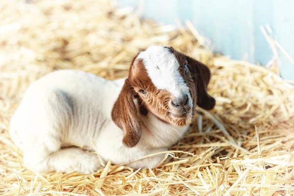 Farm Animals Photograph - Being New by Caitlyn  Grasso