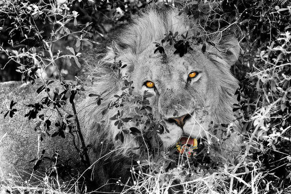 Photograph - Being Watched By A Lion by Kay Brewer