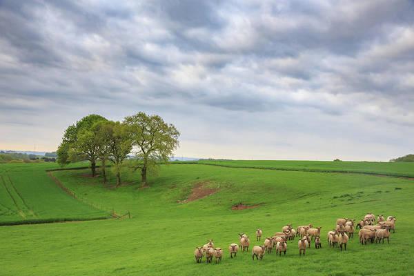 Wall Art - Photograph - Belgian Sheep by Bridget Calip