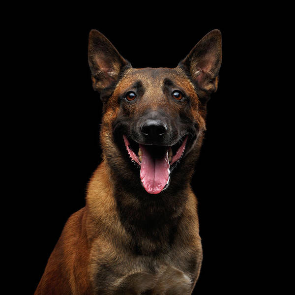 Photograph - Belgian Shepherd Dog Malinois by Sergey Taran